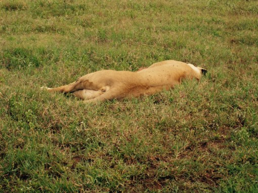 'Let sleeping lions lie', I always say. At least when I'm this close to one