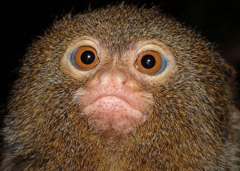 marmoset bengong picture