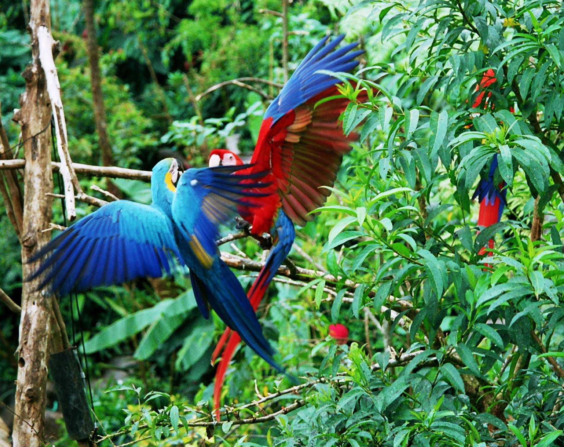 rvačka papoušků ara - modří proti červeným