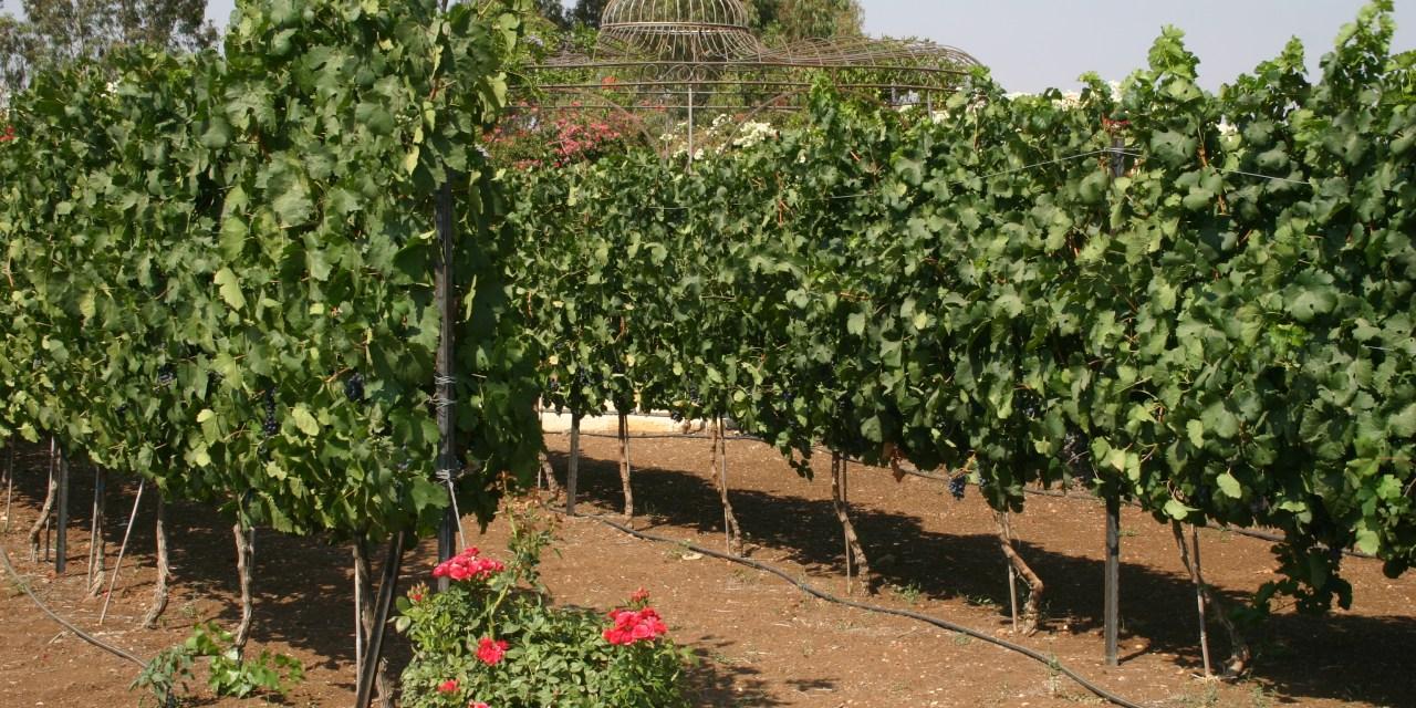 Israeli Wine, Around for Hundreds of Years