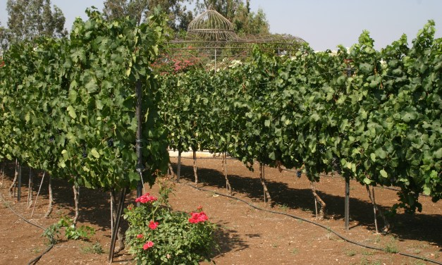 Israeli Wine, Around for Hundreds of Years