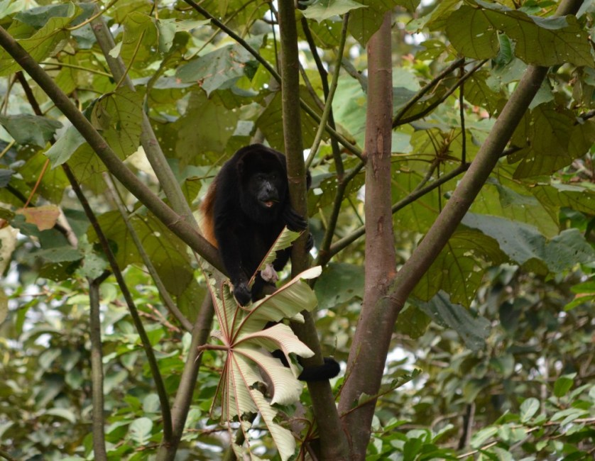 JANUARY article, Rachel Weil, howler monkey, credit Rachel, pic 6