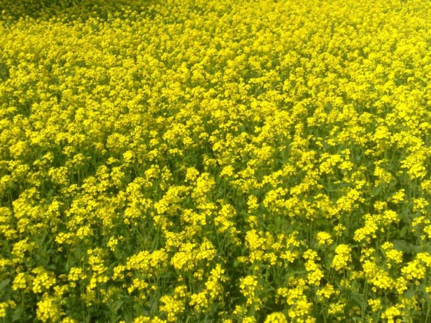 Blooming field of mustard flowers