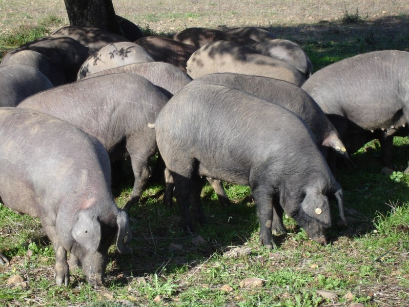 Iberian pigs foraging for acorns in Spain's dehesa