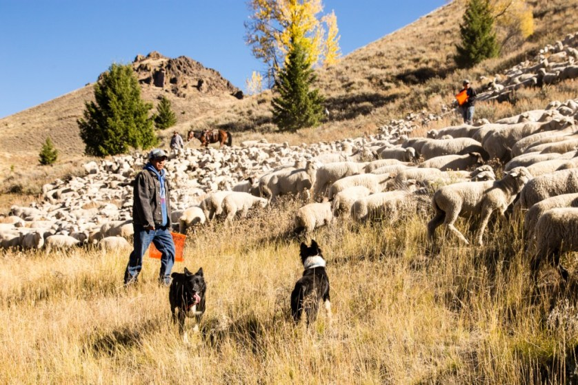 Sheepherders and dogs attempt to contral the sheep.