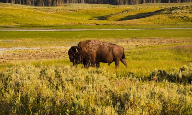American Bison Thrive on Catalina Island
