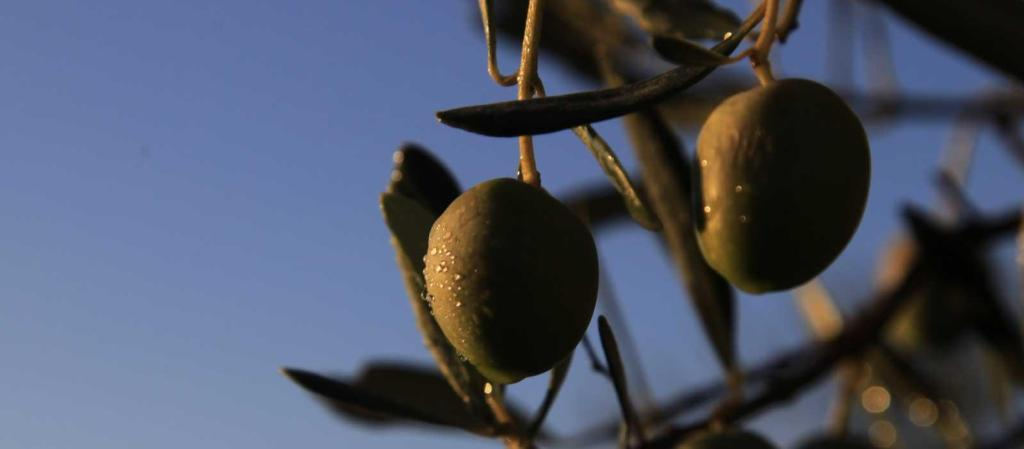 Barban's Olive Oil Festival