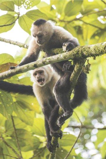 white-faced-monkeys