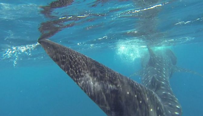 Swimming With Whale Sharks in Quintana Roo 4