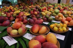 The Mango Festival at the Fairchild Tropical Garden is one of many great family events.