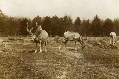 Et billede af en hjort fra den oprindelige kinesiske bestand omkring år 1900.