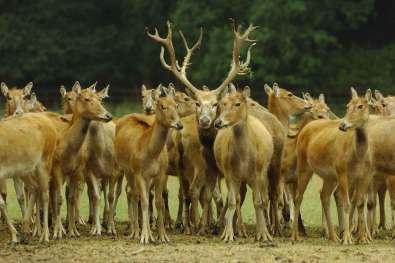 Davidshjorten kaldes også 'De fire umage' på kinesisk, da den har et gevir som en hjort, hove som en okse, hoved som en helst og hale som et æsel.
