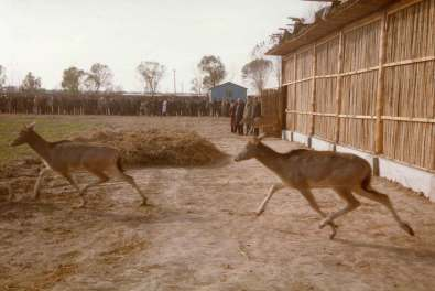 Her ses de første milu-hjorte blive sluppet fri i Kina i 1985 (foto: Maria Boyd).