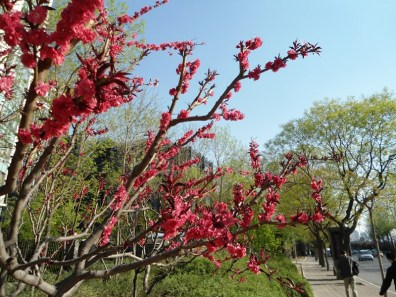 angela-asia-beijing-travel-blog-spring-flowers-in-bloom-3