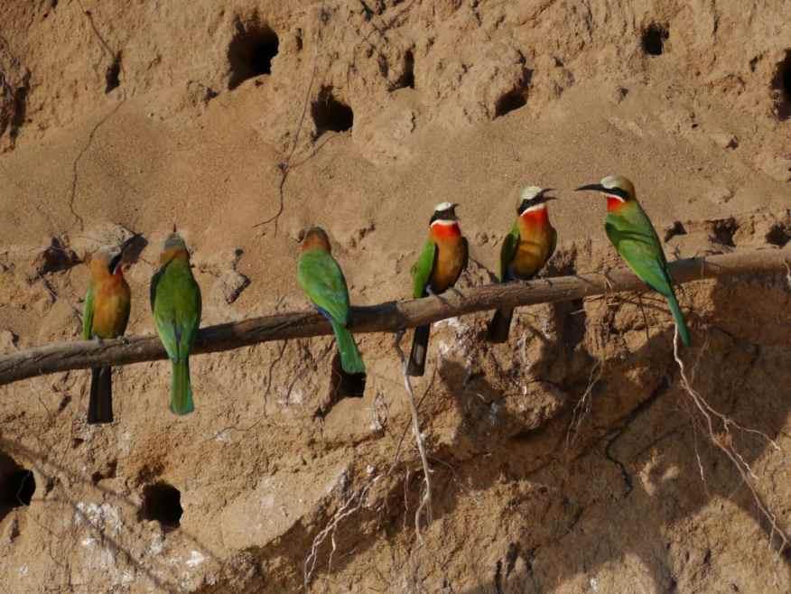 Bee-eater bird Tanzania