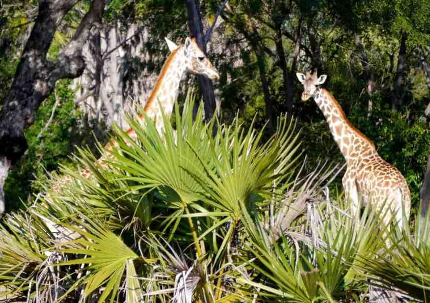 Siwandu giraffes