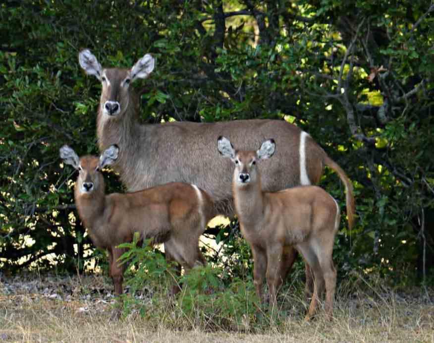 Kudo antelope Tanzania