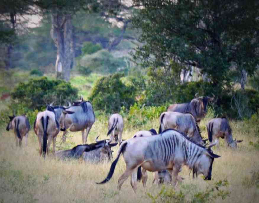 Blue wildebeest Tanzania
