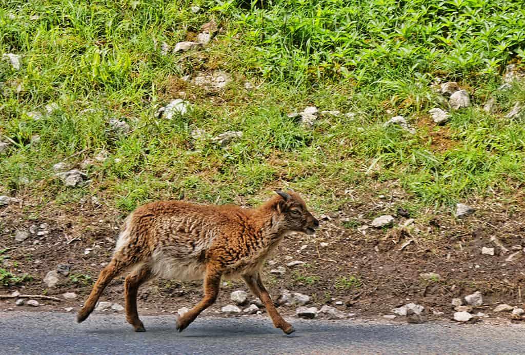 cheddar-gorge-goats