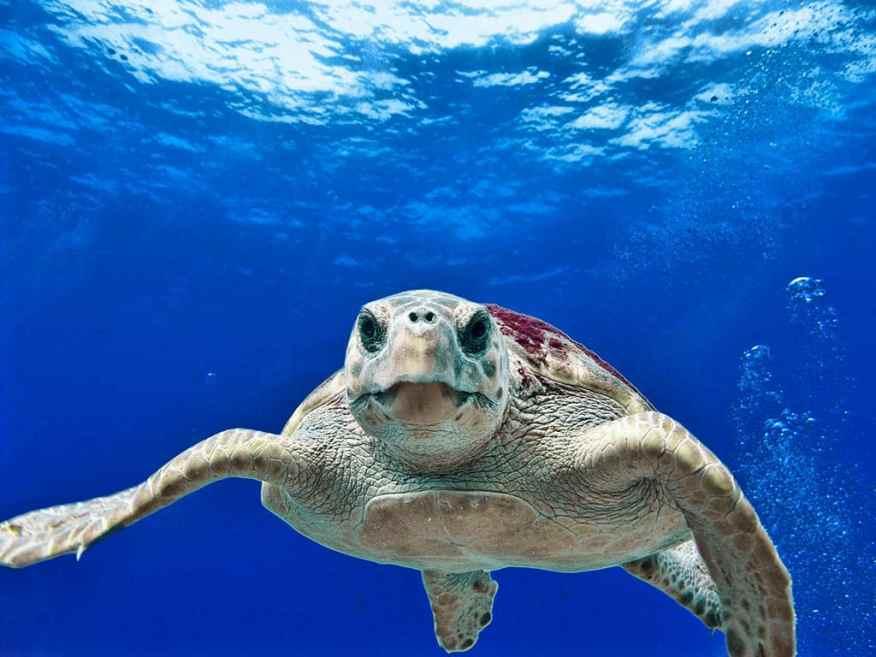 Nevis-sea-turtles