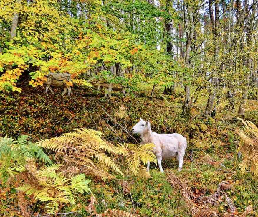 scottish_highlands_sheep