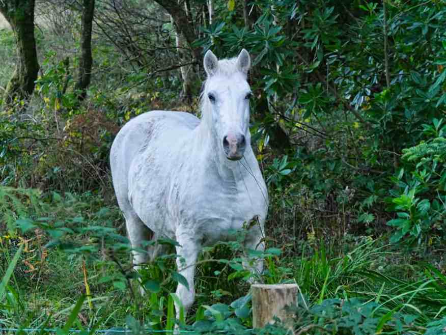connemara-pony-ireland
