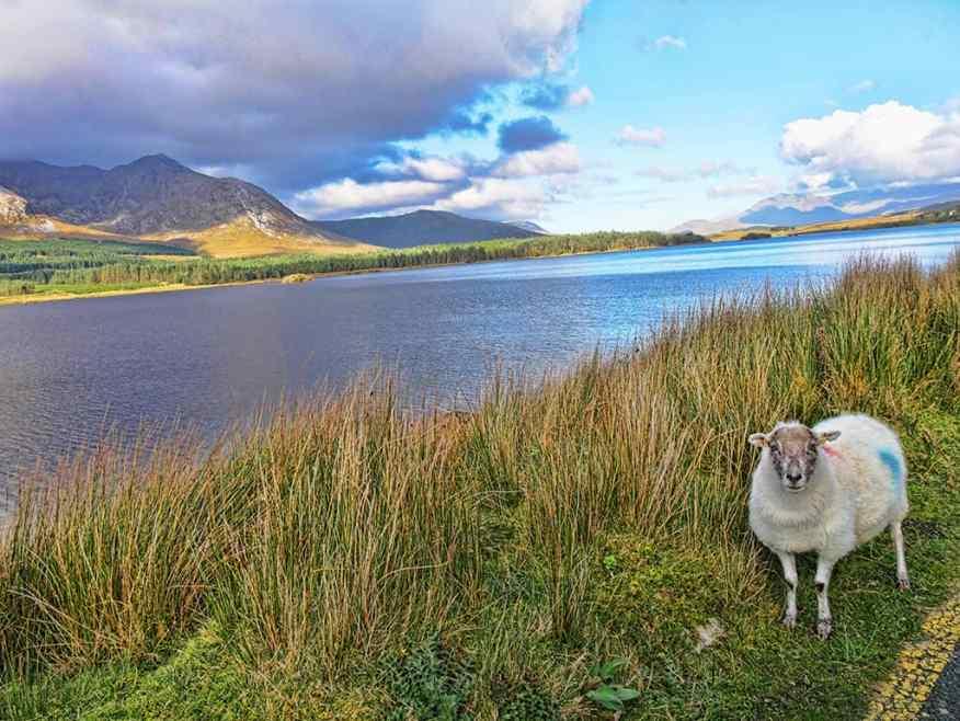 connemara-sheep