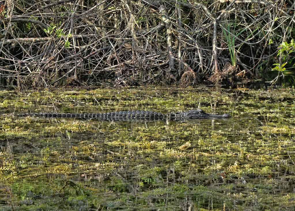 everglades-kayaking-tour-alligator