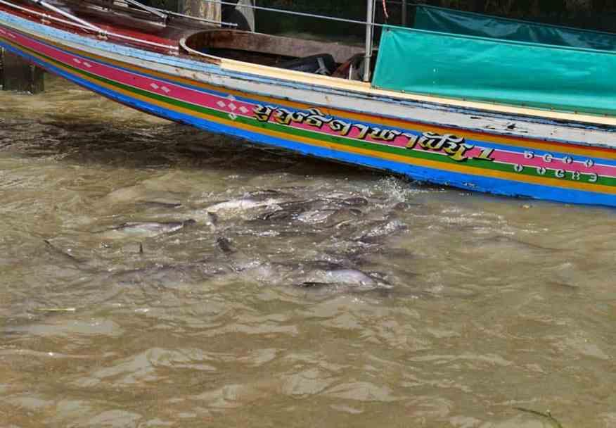 fish_feeding_bangkok