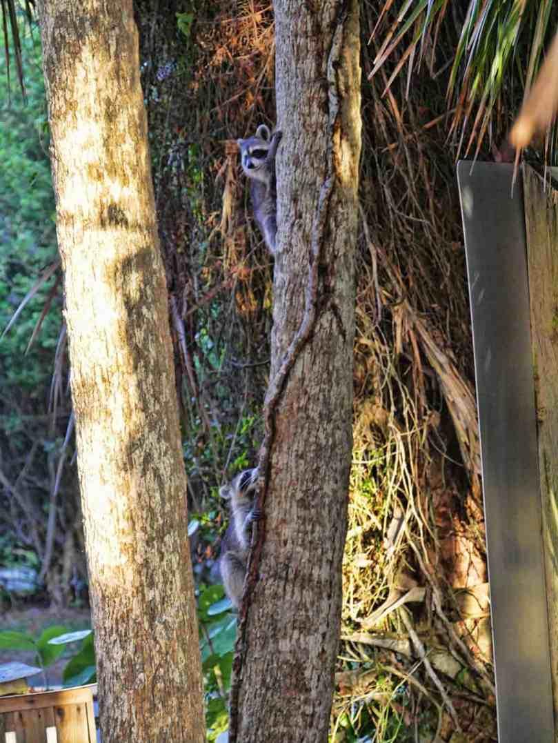 florida_national_park_racoons