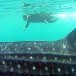swim with whale sharks la paz baja mexico