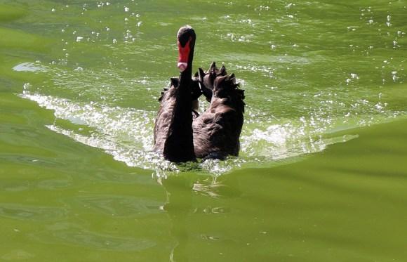 The Black Swan of Fronteira Palace Lisbon © Lavender's Blue Stuart Blakley