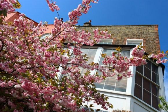 Cherry Blossom Chelsea London © Lavender's Blue Stuart Blakley