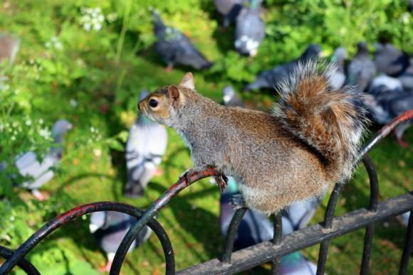 Squirrel St James's Park London © Lavender's Blue Stuart Blakley