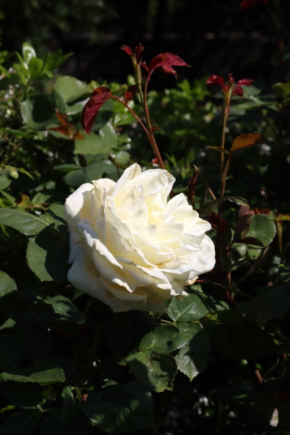 White Rose Kennington Park London © Lavender's Blue Stuart Blakley