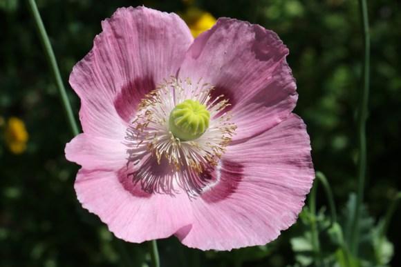 Pink Flower Chelsea Physic Garden London © Lavender's Blue Stuart Blakley