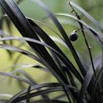 blackflower6