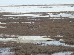 Weird looking geese outside of Prudhoe Bay