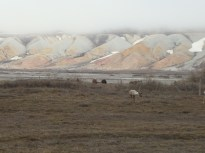 Caribou and muskoxen at Franklin Bluffs