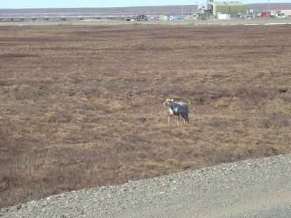 Caribou outside of a pump station