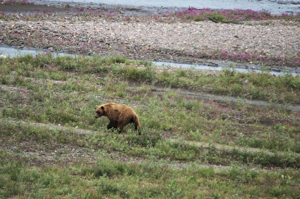 brown bear in the teklanika riverbed