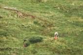 wolves eating a caribou in Denali National Park