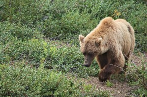 grizzly foraging