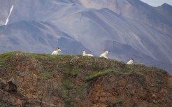 Dall sheep sitting on a ridge