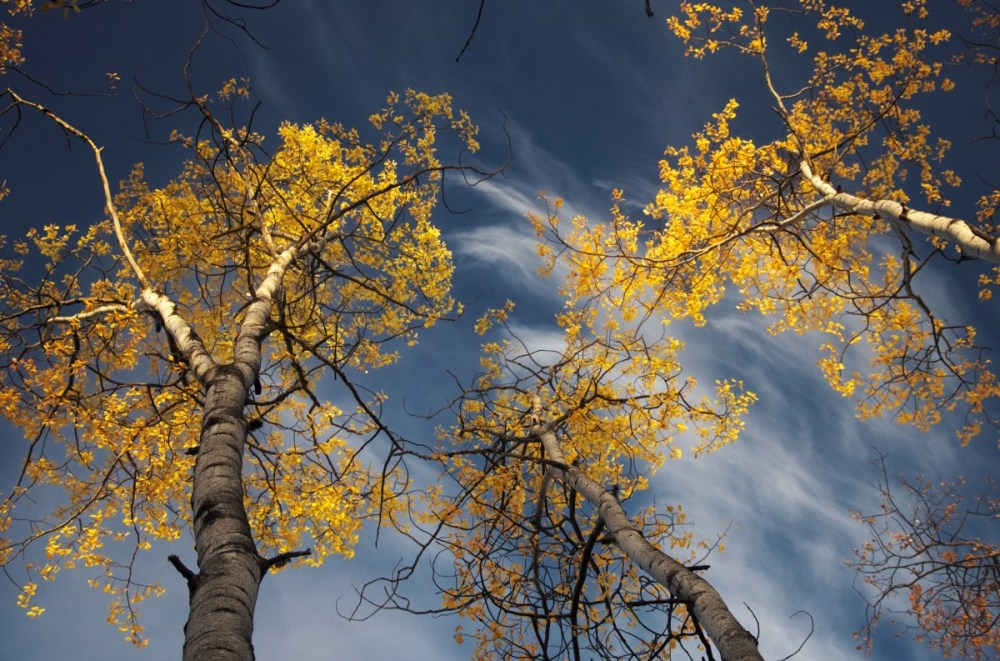 light hits the golden aspen leaves against a blue sky