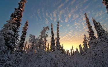 Sunrise over a snow-covered boreal forest after 11 am in Fairbanks, Alaska.