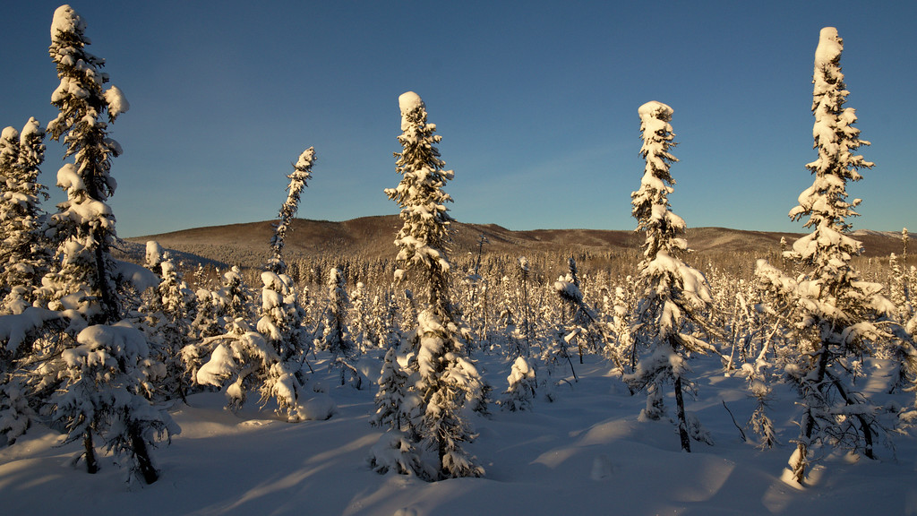 Excellent light in the early afternoon as the sun hung right over the hills behind me. We were walking through beautiful, scenic taiga for a while, but to me something seemed to stand out with these small black spruce. If you don't know it, I am a lover of these boreal forests. These 4 trees in the foreground really stood out and seemed to both frame the scene as the subject of it. You see through it the rest of the open taiga and forest all the way up the hills in the background. Simple and expansive.