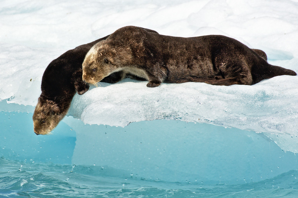 Two sea otters preparing to jump from an iceberg in Columbia Bay, Alaska.