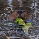 Beaver eating greens at Creamer's Field in Fairbanks, Alaska