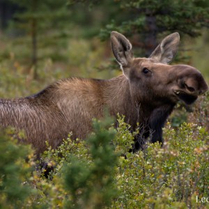 Cow moose grazing on willows in Denali National Park & Preserve.
